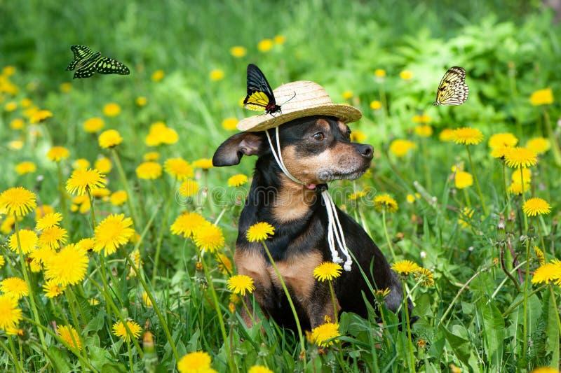 Het leuke die puppy, hond in een strohoed door de lente gele kleuren wordt omringd op een gebloeide weide, vlinders vliegt rond stock fotografie