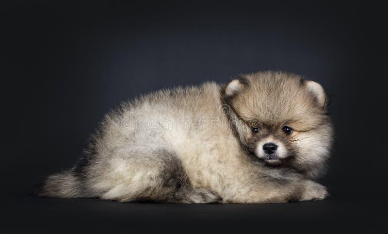 Het leuke die puppy van babypomeranian, op zwarte achtergrond wordt geïsoleerd stock fotografie
