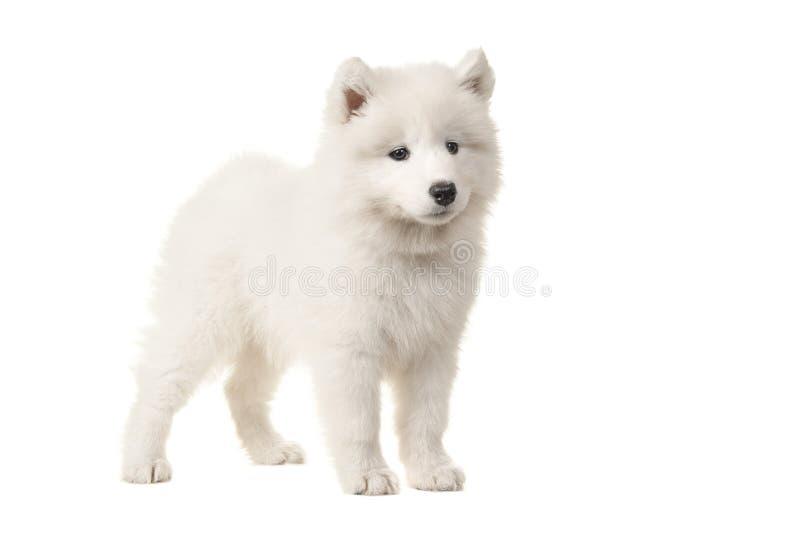 Het leuke die wit samoyed puppy van de kant wordt gezien royalty-vrije stock foto
