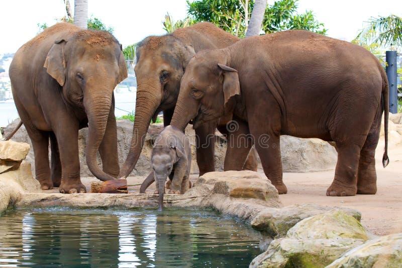 Het leuke drinkwater van de Babyolifant royalty-vrije stock afbeelding