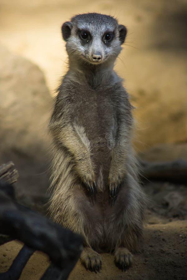 Het leuke glimlachen meerkat stock fotografie