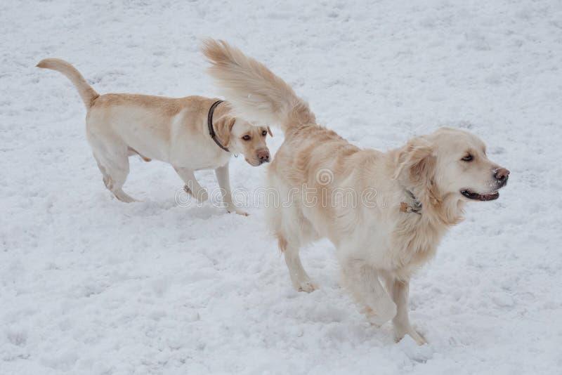 Het leuke golden retriever en labrador retriever spelen op de witte sneeuw Huisdieren stock fotografie