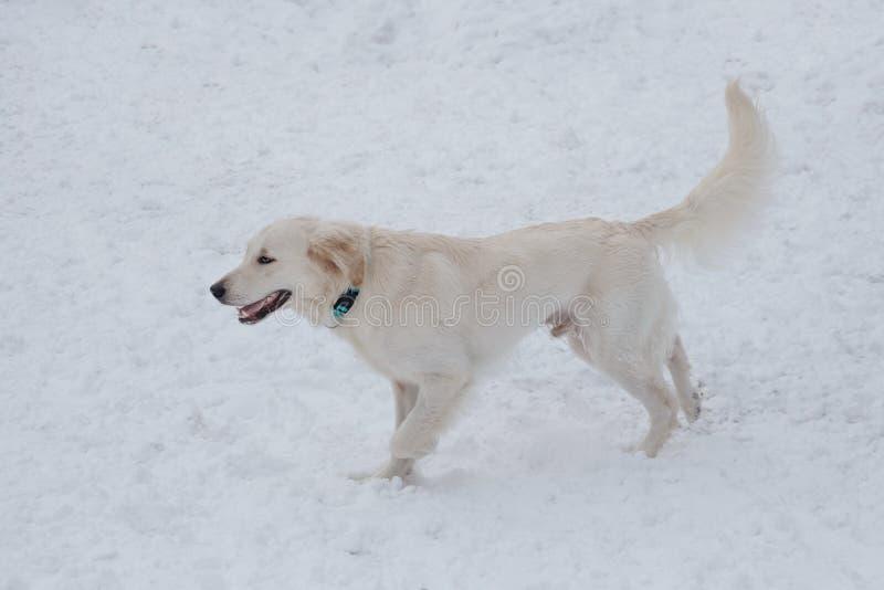 Het leuke golden retriever loopt op de witte sneeuw Huisdieren royalty-vrije stock afbeeldingen