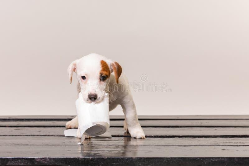 Het leuke hefboom russel puppy spelen met toiletpapier royalty-vrije stock fotografie