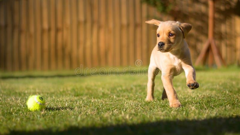Het leuke het puppy van Labrador spelen in zonnige tuin royalty-vrije stock afbeelding