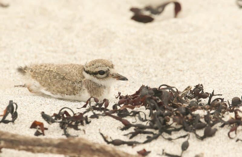 Het leuke hiaticula van Charadrius van de baby Geringde Plevier verbergen van roofdieren in het zand stock afbeelding