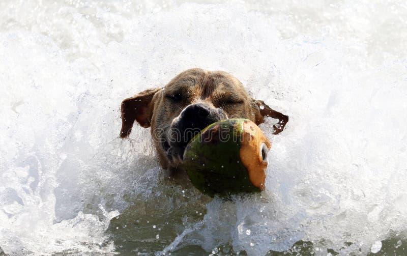 Het leuke hond spelen in de oceaan, actiebeelden van hoektand die kokosnoot in het overzees en het strand achtervolgen royalty-vrije stock foto's