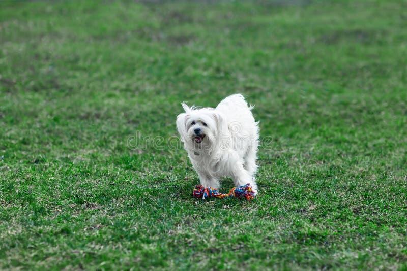 Het leuke hond spelen in openlucht met stuk speelgoed stock foto