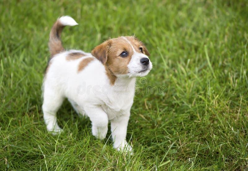 Het leuke Jack Russell-puppyhond lopen stock foto's