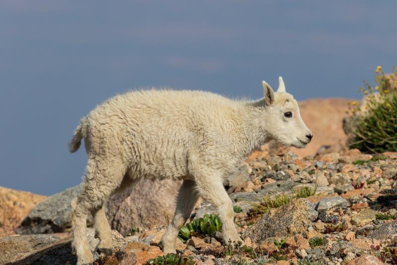 Het leuke Jonge geitje van de Berggeit stock fotografie