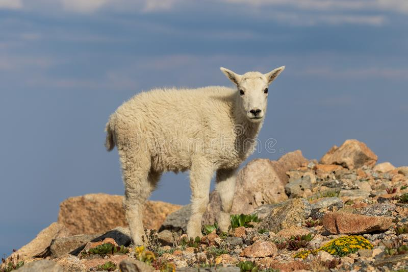 Het leuke Jonge geitje van de Berggeit royalty-vrije stock afbeeldingen