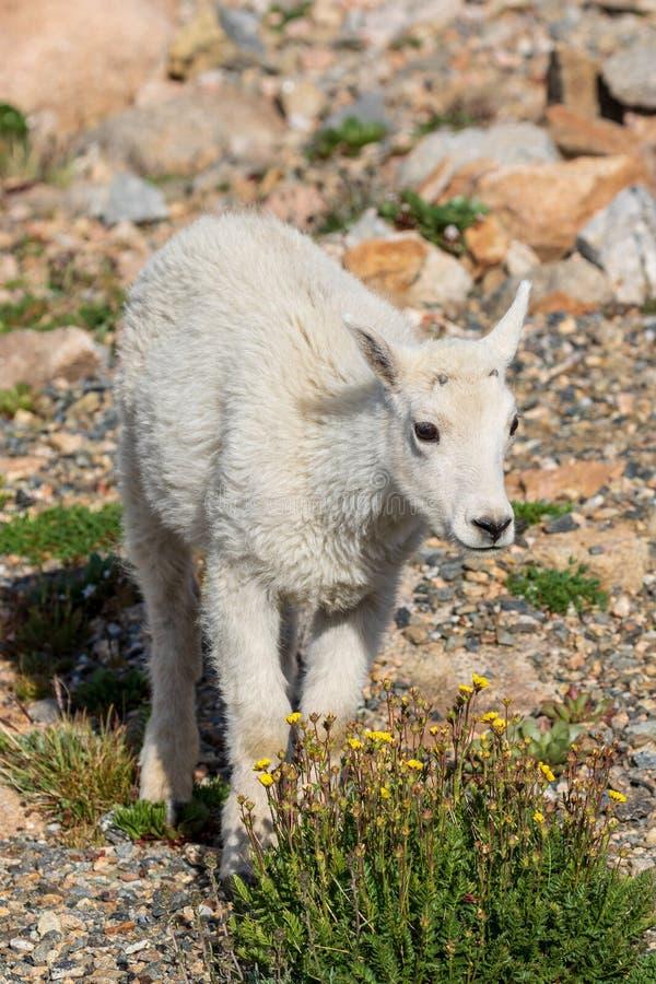Het leuke Jonge geitje van de Berggeit royalty-vrije stock foto's