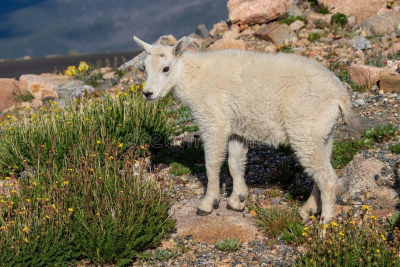 Het leuke Jonge geitje van de Berggeit royalty-vrije stock afbeelding