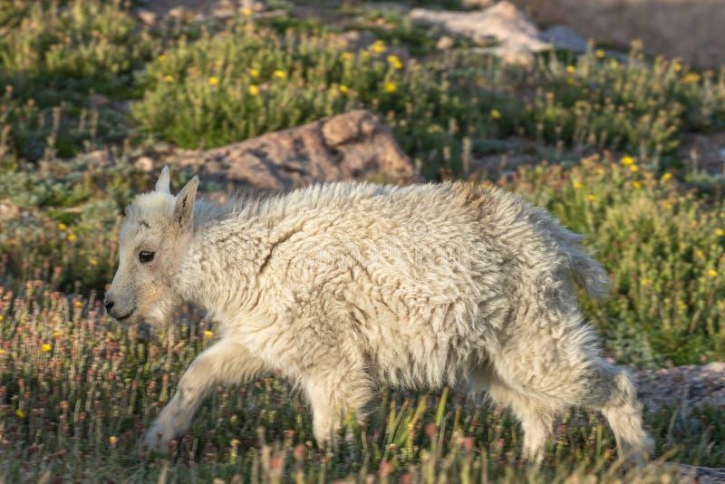 Het leuke Jonge geitje van de Berggeit stock afbeeldingen