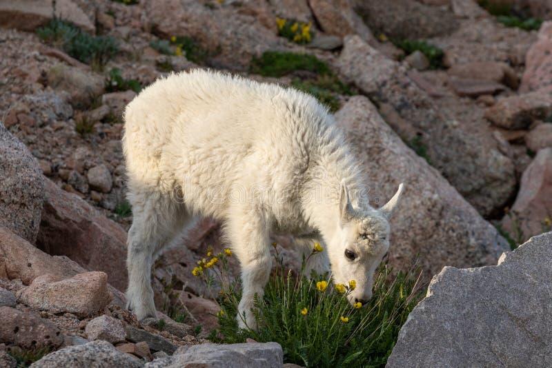 Het leuke Jonge geitje van de Berggeit stock afbeelding
