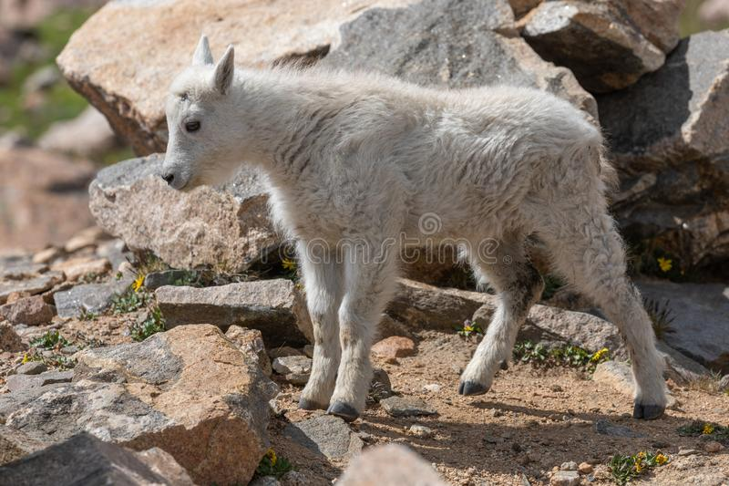 Het leuke Jonge geitje van de Berggeit royalty-vrije stock foto