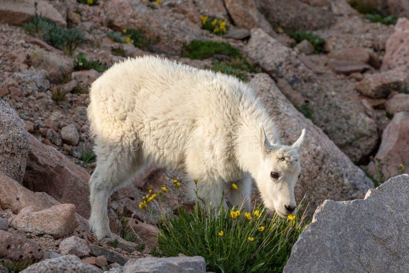 Het leuke Jonge geitje van de Berggeit in de Zomer stock afbeelding