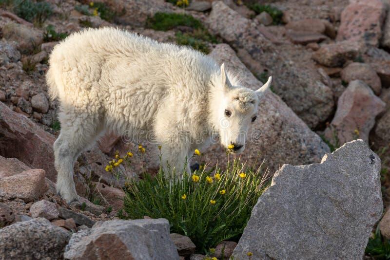 Het leuke Jonge geitje van de Berggeit in de Zomer royalty-vrije stock foto's