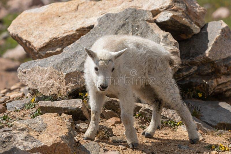 Het leuke Jonge geitje van de Berggeit in de Zomer royalty-vrije stock afbeelding