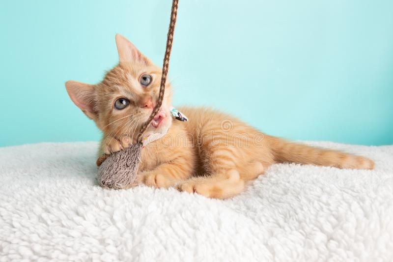 Het leuke Jonge Oranje Tabby Cat Kitten Rescue Wearing White Flower-Vlinderdas Liggen die omhoog Speel en Bijtend Muis en Koord k stock afbeelding