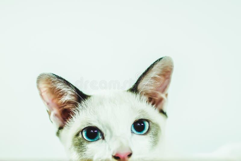 Het leuke katje met blauwe ogen sluit omhoog op het letten nieuwsgierige achtergrond royalty-vrije stock foto's
