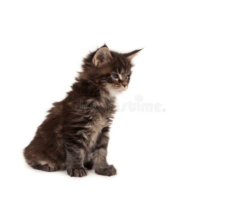 Het leuke katje van de Wasbeer van Maine royalty-vrije stock afbeeldingen