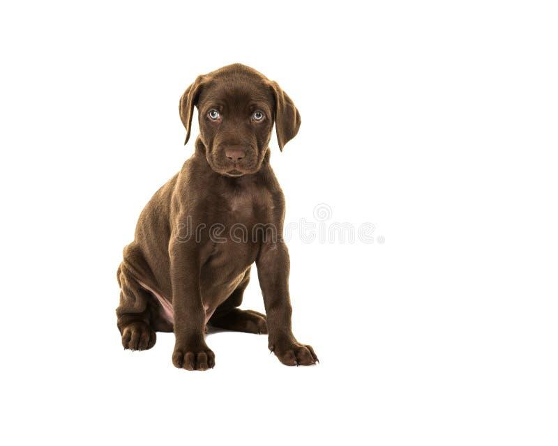 Het leuke kijken bruine het puppyhond van Labrador met blauwe ogen die ISO zitten stock afbeelding
