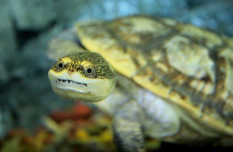 Het leuke kijken Chinese drie-gestreepte doosschildpad royalty-vrije stock fotografie