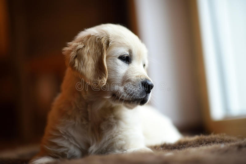 Het leuke kleine golden retrieverpuppy denken stock foto's