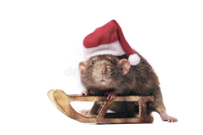 Het leuke knaagdier die een santahoed dragen en zit op een Kerstmisslee stock afbeeldingen