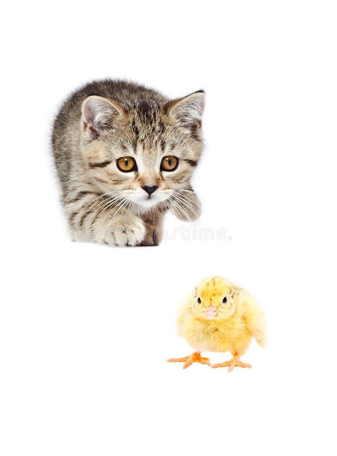 Het leuke kuiken van katjes Schotse Rechte jachten stock foto's