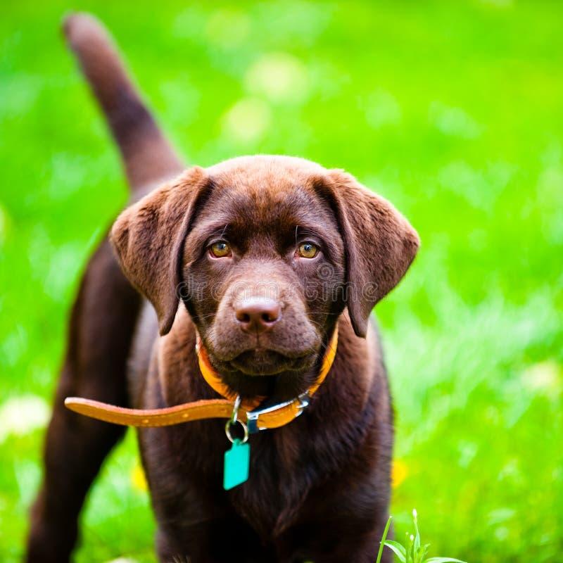 Het leuke Labrador puppy dichte omhoog spelen in gras royalty-vrije stock foto