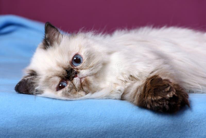 Het leuke Perzische tortie colorpoint katje ligt op een blauwe sprei stock foto's