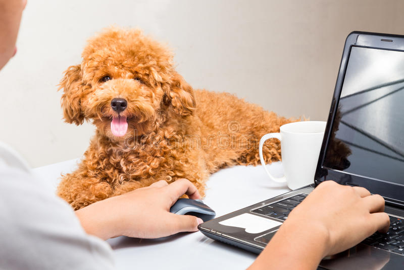 Het leuke poedelpuppy begeleidt persoon die met laptop computer aan bureau werken royalty-vrije stock foto's