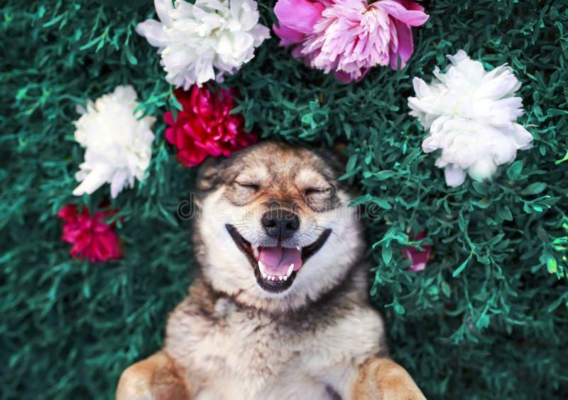 Het leuke portret van een bruine hond ligt op een groene die weide door weelderige gras en bloemen van roze geurige pioenen en wi royalty-vrije stock afbeelding
