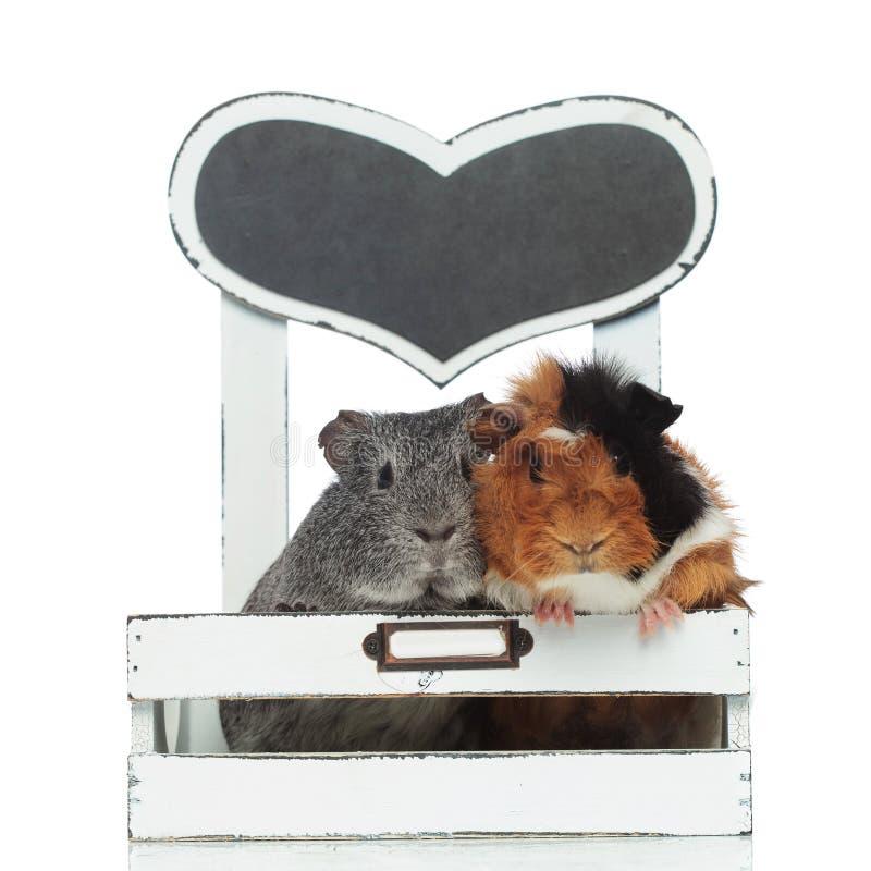 Het leuke proefkonijnpaar ontspannen in een kleine voederbak royalty-vrije stock foto's