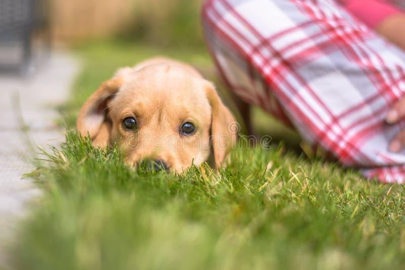 Het leuke puppy die van Labrador op gras liggen die camera onderzoeken stock foto