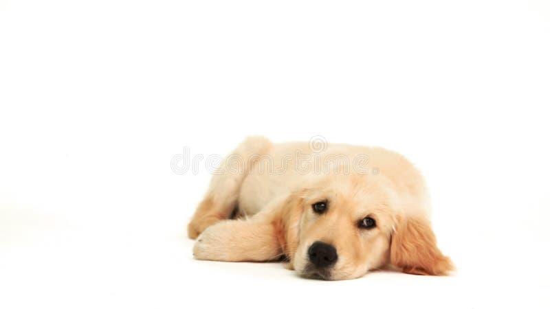 Het leuke puppy liggen