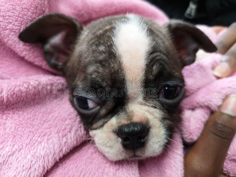 Het leuke puppy van Boston royalty-vrije stock fotografie