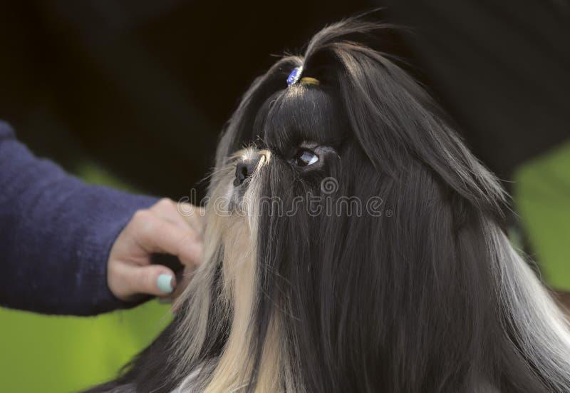 Het leuke puppy van shihtzu bij een hond toont royalty-vrije stock foto