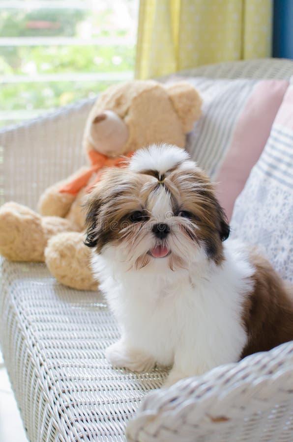 Het leuke puppy van shihtzu zit royalty-vrije stock afbeelding