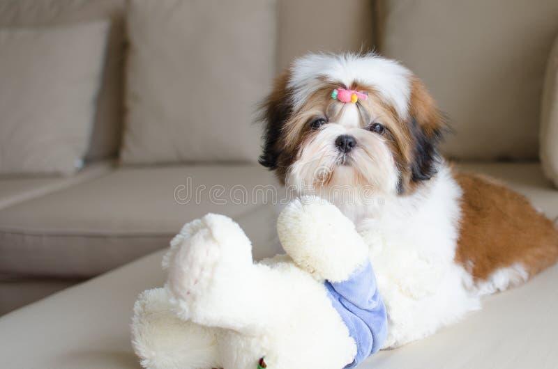 Het leuke puppy van shihtzu zit stock afbeelding