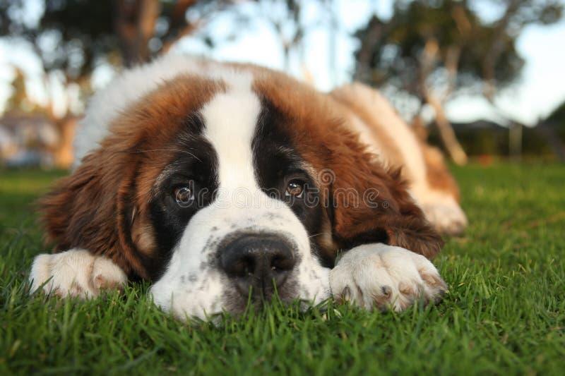 Het leuke Rasechte Puppy van de Sint-bernard stock foto