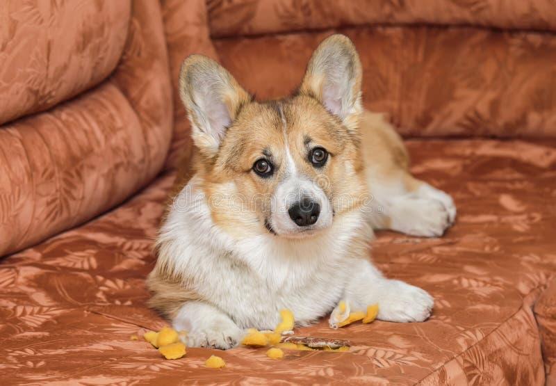 het leuke rode puppy ligt thuis op de laag en scheurde en nam uit het meubilairschuimrubber en kijkt schuldig royalty-vrije stock afbeelding
