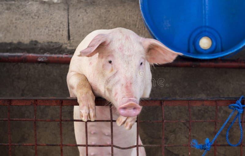 Het leuke varken beklimt aan paddockomheining Huisdierenportret Roze biggetje die in camera kijken stock foto