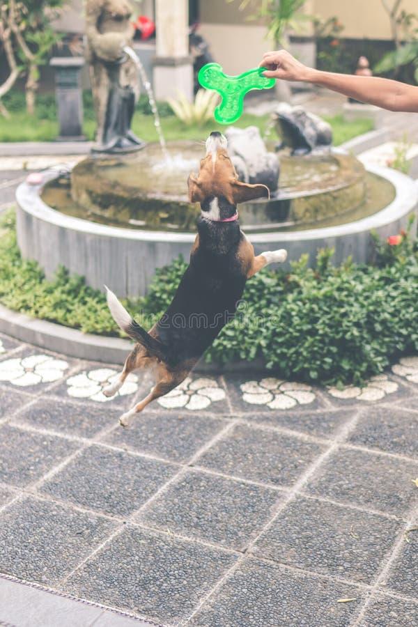 Het leuke vrouwelijke brakhond spelen met stuk speelgoed in openlucht azië stock afbeelding