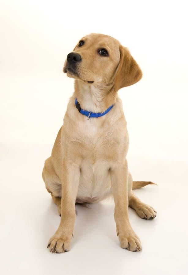 Het leuke Vrouwelijke Puppy van Labrador royalty-vrije stock fotografie