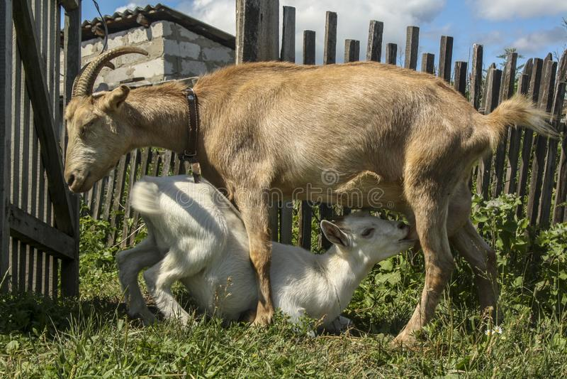 Het leuke witte goatling eet melk van een mamma-geit Dorp of landbouwbedrijf stock afbeelding