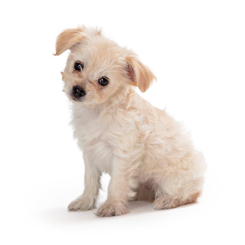 Het leuke Witte Overhellende Hoofd van de Puppyzitting royalty-vrije stock afbeelding