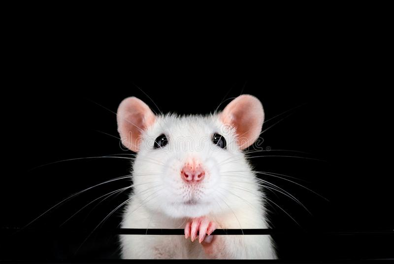 Het leuke witte portret van de huisdierenrat met zwarte achtergrond stock fotografie